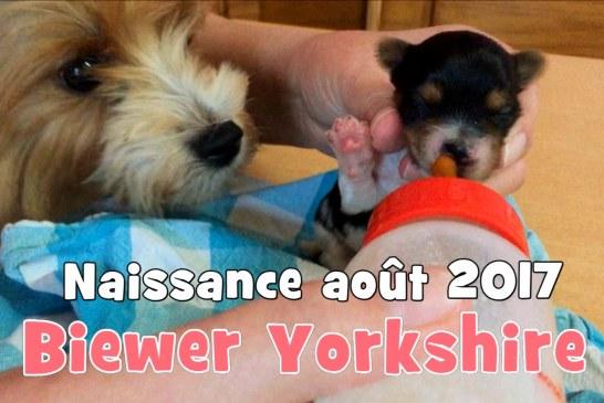 Chiots Biewer Yorkshire Puppies – Août 2017