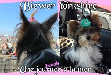 Une journée à la mer – Biewer Yorkshire