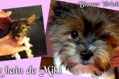 Le bain de Miki – Chiot Biewer Yorkshire Terrier Puppy