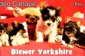 Bébés Biewer Yorkshire Terrier Puppies – Jour 55 – Vidéo Canapé 1