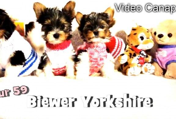 Bébés Biewer Yorkshire Terrier Puppies – Jour 59 – Vidéo Canapé 2