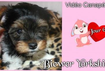 Bébés Biewer Yorkshire Puppies – Jour 60 – Vidéo Canapé 3