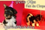 Petite Miss fait du cirque – Biewer Yorkshire
