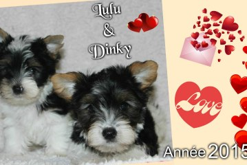 Biewer Yorkshire – Dinky et Lulu (2015)