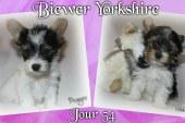 Bébés Biewer Yorkshire Terrier Puppies – Jour 54