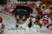 Miss Choupette – Biewer Yorkshire