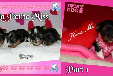 La Petite Miss – Biewer Yorkshire