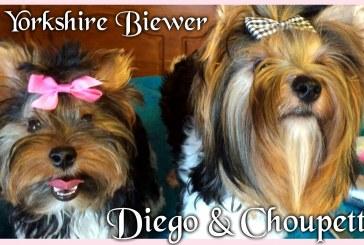 Diego et Choupette – Biewer Yorkshire