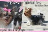 Une journée à la plage avec les Yorks et les Chihuahuas – Biewer Yorkshire