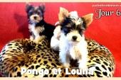 Pongo et Louna – Chiots Biewer Yorkshire Puppies