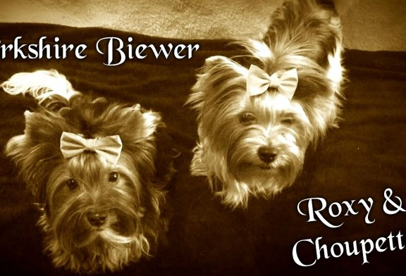 Roxy et Choupette – Yorkshire Biewer