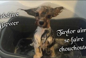 Taylor dans son bain – Yorkshire Biewer