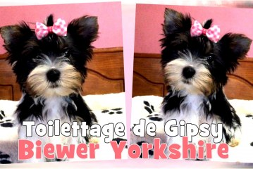 Toilettage de Gipsy – Chiot Biewer Yorkshire