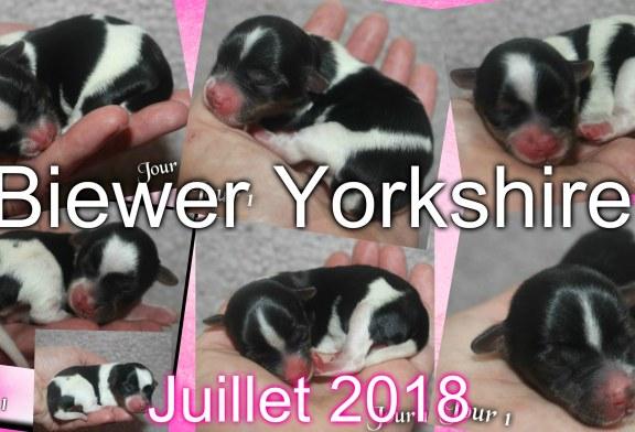 Chiots Biewer Yorkshire Puppies – Juillet 2018